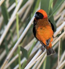 Southern Red Bishop (Euplectes orix)-9712 (Dave Krueper) Tags: africa aves bird birds bishop landbird passeriformes passerine ploceidae sorb southafrica