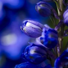 Just blue (Martin Bärtges) Tags: deutschland germany makrofotografie makro macro macrophotography naturephotography naturfotografie natur nature outdoor outside drausen farbenfroh colorful nikonphotography nikonfotografie d7000 nikon blau blue blossoms blüten blumen flowers