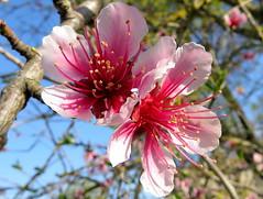 IMG_0016x (gzammarchi) Tags: italia paesaggio natura pianura campagna ravenna sanmarco fiore pesco colore rosa coppia