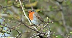 Robin J78A0171 (M0JRA) Tags: robins birds humber ponds lakes people trees fields walks farms traylers