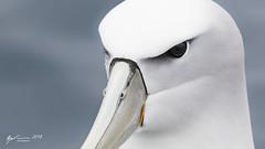 White-capped Albatross (R. Francis) Tags: whitecappedalbatross thalassarchecautasteadi ryanfrancis ryanfrancisphotography tasmania tassie tas tasmanpeninsula eaglehawkneck continentalshelf pelagic