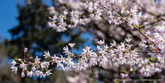 Spring Blossom 2019 (LunchWithaLens) Tags: blossom magnolia seattle spring