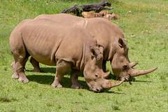 Rhinocerous (jackiecomer994) Tags: rhinocerous rhino animal