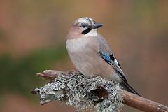 1810083-28 pm 1 (Kjell Arild Dokka) Tags: spurvefugler kråkefugler nøtteskrike garrulus glandarius norge nerdly