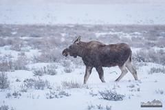 Snowy Moose Calf (kevin-palmer) Tags: december winter snow snowy morning nikond750 nikon180mmf28 telephoto grandteton nationalpark grandtetonnationalpark jackson snowing storm cloudy moose animals wildlife calf sagebrush cold sleepingindianoverlook