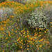 Poppies of the 2019 Superbloom