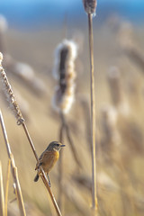 Stonechat ( male ) (- A N D R E W -) Tags: stonechat bird nature mae winter plumage reeds sky blue sun yellow color vibrant bokeh dof wildlife