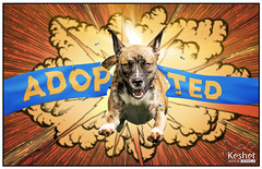 ADOPTED! (Keshet Kennels & Rescue) Tags: adoption dog ottawa ontario canada keshet large breed dogs animal animals pet pets field nature photography adopted boxer mix banner explosion comic book jump action hero