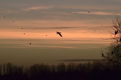 Flying home to roost #1 (MJ Harbey) Tags: birds cormorant tree sunset caldecottelake miltonkeynes buckinghamshire clouds nikon d3300 nikond3300 aves suliformes phalacrocoracidae silhouette
