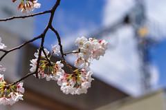 RAW_IMGP4428 (kirinoa) Tags: 横浜市 神奈川県 日本 jp 日ノ出町 黄金町 大岡川 桜