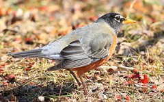 American robin in Spillville IA 653A3683 (naturalist@winneshiekwild.com) Tags: american robin spillville winneshiek county iowa larry reis