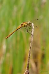Sympetrum Striolatum (Visual Stripes) Tags: dragonfly odonata sympetrum insect invertebrate nature 35mmmacro 35mm mzuiko olympus microfourthirds mft m43 olympusepm1 bokeh closeup dof depthoffield handheld libel heidelibel composition