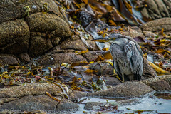 Gray Heron (liloubreizh) Tags: héron cendré gray heron bird oiseau bretagne brittany france plage sea beach nikon d5300 55300mm wild animal nature