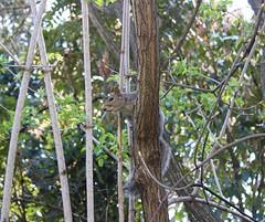 Squirrel. (jessica.aieta) Tags: park nature canon1300d canon photo pic squirrel