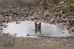 Chaffinch having a dip (AndyNeal) Tags: animal wildlife nature bird chaffinch birdbath essex essexwildlifetrust