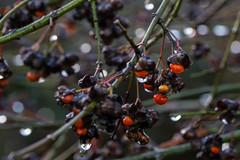 Drops and berries (herman hengelo) Tags: spindle europäischespfaffenhütchen fusaindeurope berrettadelprete benved spolebusk kardinaalsmuts waterdruppels winter garden hengelo thenetherlands berries drops
