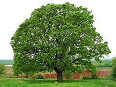 Oak in Bacva (Vid Pogacnik) Tags: istra croatia hrvatska istria bacva bačva oaktree rural plant