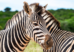 Happy Zebra (Denis Roschlau Photography) Tags: addoelefantennationalpark addoelephantnationalpark africa afrika easterncape equidae equusburchellii equusquagga natur oddtoedungulate ostkap perissodactyla pferde southafrica steppenzebra säugetiere südafrika unpaarhufer african afrikanisch animals horse mammal mammals nature plainszebra southernafrica säugetier südlichesafrika tier ungulate wildanimals wildetiere wildestier wildlife wildtier