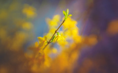 Forsythia (Dhina A) Tags: sony a7rii ilce7rm2 a7r2 a7r psychotar 50mm noname50mm russian soviet ussr vintage monocle forsythia flower bokeh spring