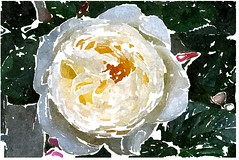Wie irrt das Menschenherz so sehr (amras_de) Tags: rose rosen ruža rosa ruže rozo roos arrosa ruusut rós rózsa rože rozes rozen roser róza trandafir vrtnica rossläktet gül blüte blume flor cvijet kvet blomst flower floro õis lore kukka fleur bláth virág blóm fiore flos žiedas zieds bloem blome kwiat floare ciuri flouer cvet blomma çiçek zeichnung dibuix kresba tegning drawing desegnajo dibujo piirustus dessin crtež rajz teikning disegno adumbratio zimejums tekening tegnekunst rysunek desenho desen risba teckning çizim