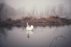 Swan (radimersky) Tags: lake swan łabądź labut day dzień misty morning spring wiosna woda water odbicie reflectiom panasonic lumix dmgx9 micro 43 fourthirds poranek opolskie polska poland europe europa landscape krajobraz bird animal wild ptak