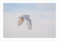 Snowy Owl (hey its k) Tags: 2019 birds hamilton nature owl snow snowyowl winona winter ontario canada ca imga0108e canon5dmarkiv tamron 150600mm