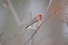 House Finch (Digital Plume Hunter) Tags: