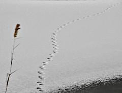 Prints Across a Frozen Pond (Throwingbull) Tags: chesapeake bay terrapin beach park winter snow ice frozen kent island stevensville md maryland