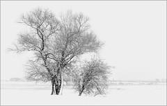 Snow on the Rhine (Eva Haertel) Tags: eva haertel landschaft landscape season jahreszeit winter schnee snow fluss river rhein rhine duisburg germany deutshland ruhrort wiese meadow horizont horizon sw schwarzweis bw blackandwhite highkey baum tree willowtree
