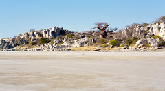 Kubu Island _5655 (hkoons) Tags: islandsafaricamp kubuisland kukomeisland lakemakgadikgadi lekhubuisland makgadikgadipan nationalpark nxaipannationalpark nxaipan southernafrica suapan drylake africa baobab botswana maun sowa sua tree ancient arbor bloom blossom branch branches bud buds canopy color expanse flat flora flower grass green growth horizon land landscape large leaf leaves limb limbs old outdoors pan panorama roots salt sky soil stem sun sunlight sunshine trees trunk view