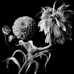 Fritillaria Imperialis and Dahlias - B&W (Pixel Fusion) Tags: nature nikon flora flower aperture macro d600 photoshop dahlia imperialis fritillaria