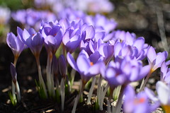 Krokusse (Tristan Tödtmann) Tags: deutschland natur nature ostwestfalen nordrheinwestfalen nrw blumen krokus frühling spring flowers germany kirchlengern