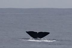 Sperm Whale Tail Flukes
