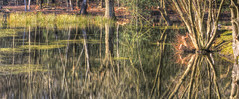 Reflecting Pool (cropped ver) (ArtGordon1) Tags: eppingforest highbeach essex england uk winter 2019 february davegordon davidgordon daveartgordon davidagordon daveagordon artgordon1 reflections reflection water pond