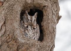 Screech (ayres_leigh) Tags: bird nature owl screech wildlife amazing durhamregion tree winter canon