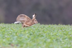 Hare. (JJB Images) Tags: amazingnature beautiful canon canoneos6d clear countryside closeup canonef600mmf4islens detail england focus fuji interesting image jjbimages lumix marlborough minolta nikon nature natural panasonic pewsey rural rspb wiltshire woodlands wildlife xl zoom zoomed