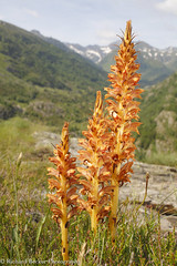 Greater Broomrape (Richard Becker Photography) Tags: broomrape france french orobanche pyrenees alpine ariege environment environmental europe european flower flowering greater mountain mountains natural nature parasite parasitic plant plants rapumgenistae temperate western wild wildflower wildlife