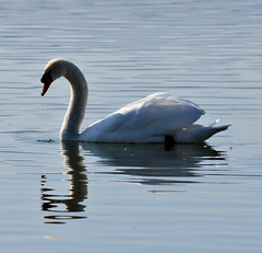 at Milada lake (dinapunk) Tags: swan reflection nature animal pond wildlife cz milada jezero drop drip