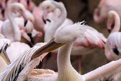 42.Pelicano rosa, Bioparc Valencia. (Manupastor43) Tags: biglens tele teleobjetivo españa birds zoo pajaro ave pelicanorosa pelicano animal 150600mm tamron 200d eos canon