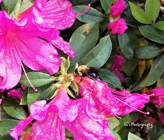 Tending to the BUZZness at hand (http://www.yashicasailorboy.com) Tags: bees azalea plant flower blossom