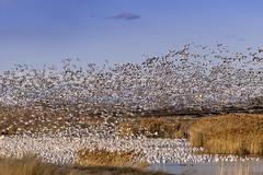 snow geese-02-28-19-138 (Ken Folwell) Tags: snowgeese water pond skies idaho