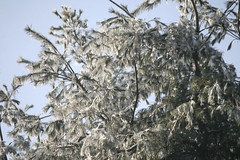 Icy White Pine (eyriel) Tags: tree evergreen branch branches nature cold winter