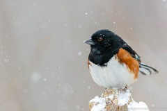 Eastern Towhee (miketimmonsphoto.com) Tags: mike timmons aba indiana bird nature wildlife towhee miketimmons