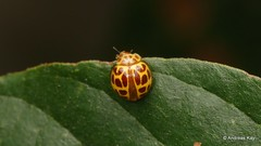Tiny Lady Beetle, Cycloneda graphiptera, Coccinellidae (Ecuador Megadiverso) Tags: andreaskay beetle coccinellidae coleoptera ecuador ladybeetle cyclonedagraphiptera