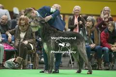 img_9999_520 (HoundPhotographer) Tags: irishwolfhound wolfhound hound crufts crufts2019 showdog dogshow