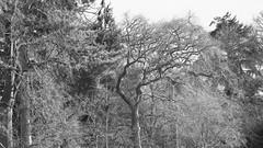 _B5A1995REWS 2200 Etched, © Jon Perry, 17-3-19 zbp (Jon Perry - Enlightenshade) Tags: jonperry enlightenshade arranginglightcom kew kewgardens 17319 20190317 bw blackandwhite trees