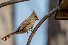 Spring is just a hop, skip and jump away. (ricmcarthur) Tags: cardinaliscardinalis cardinal rondeau yard bird nature ricmcarthur rickmcarthur rondeauric