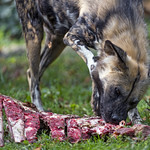 Wild dog eating some nice meat thumbnail