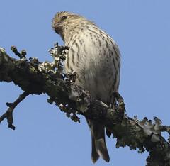 Pine Siskin (MTEBG99) Tags: pinesiskin siskin birds canon canon100400 canon80d naturephotography wildlifephotography nature wildlife birding