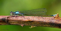 Blue Damselfly (ChasingNature) Tags: damselfly blue insect thorn greenleaves macro sigma150mm macrorail tripod